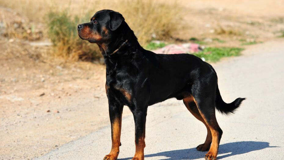 Rottweiler standing on the road