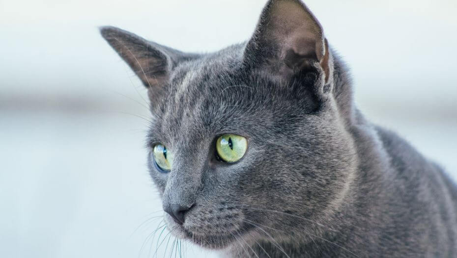 Russian Blue cat is watching at someone