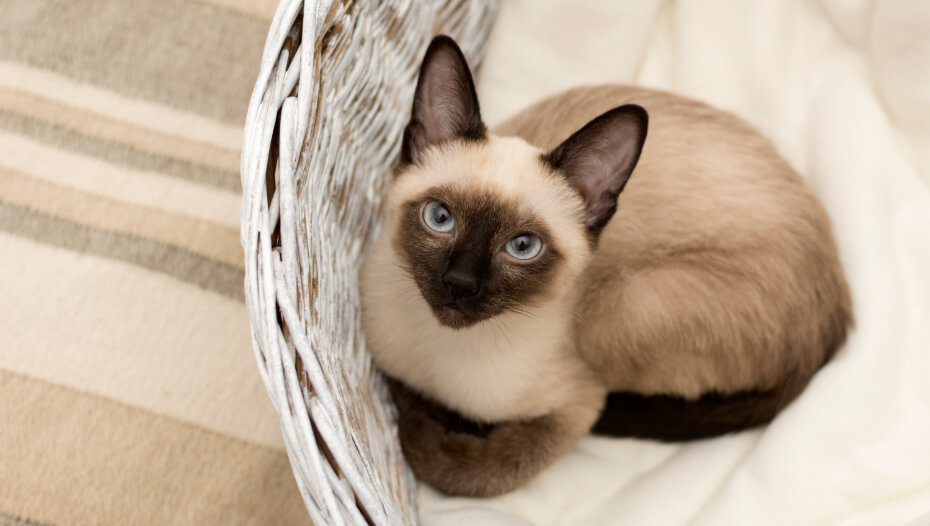 Siamese cat is lying in a wicker basket