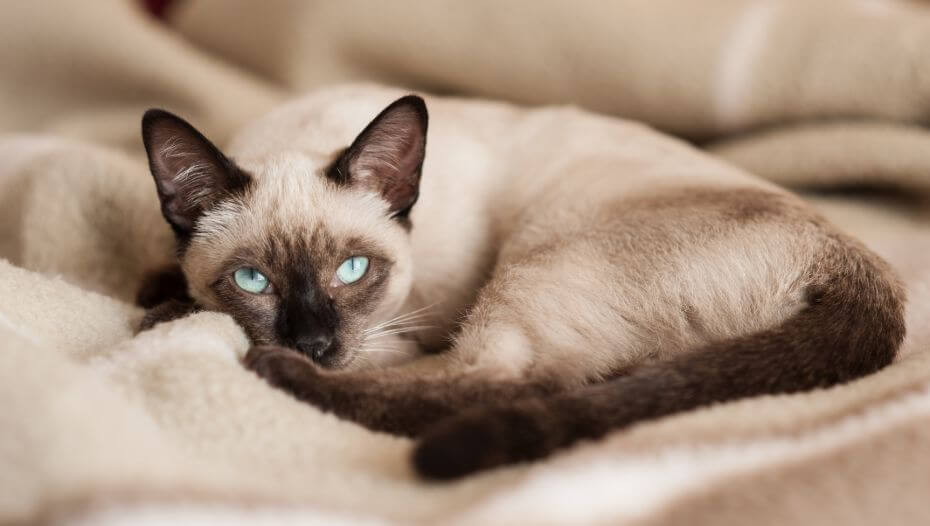 Siamese cat is lying on a blanket