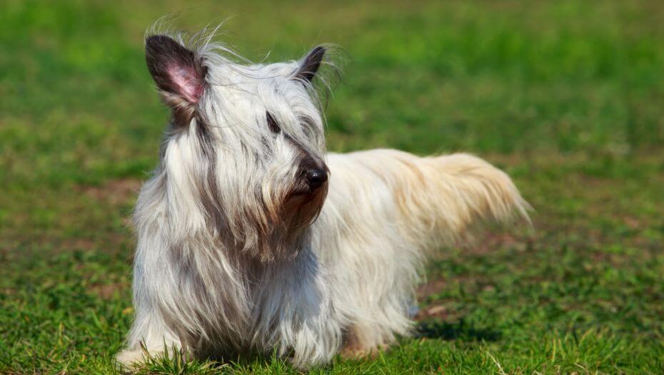 Skye Terrier Dog Breed Information   Purina
