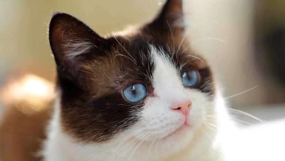 Snowshoe cat with blue eyes is watching deeply