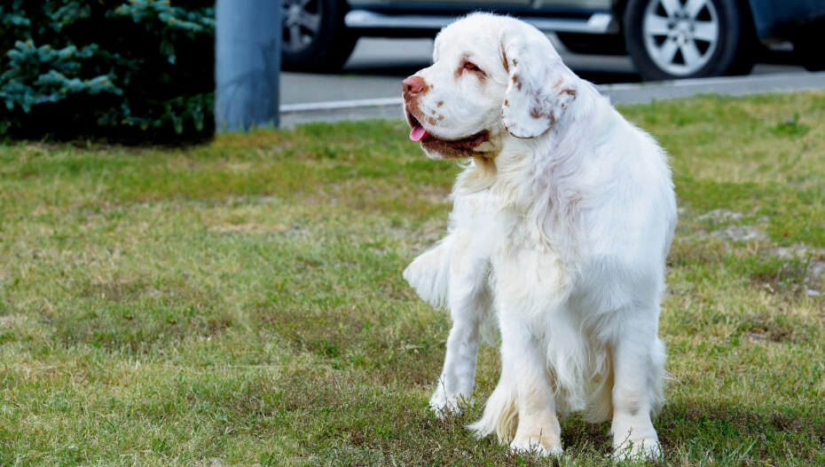 light colored spaniel standing on the grass