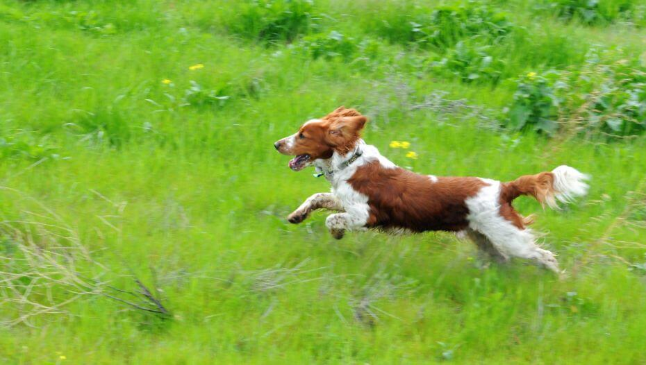 Spaniel (Welsh Springer) runs at field with grass