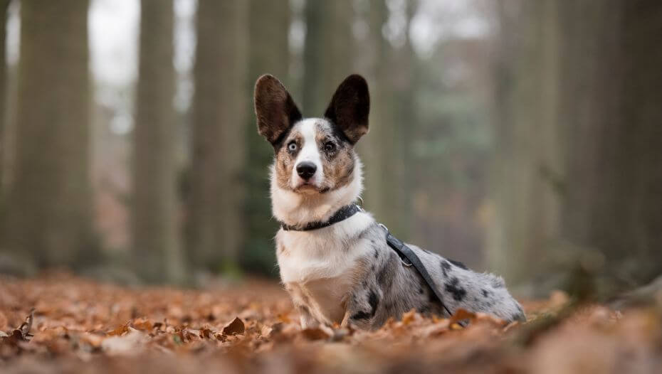 Welsh Corgi standing in the forest