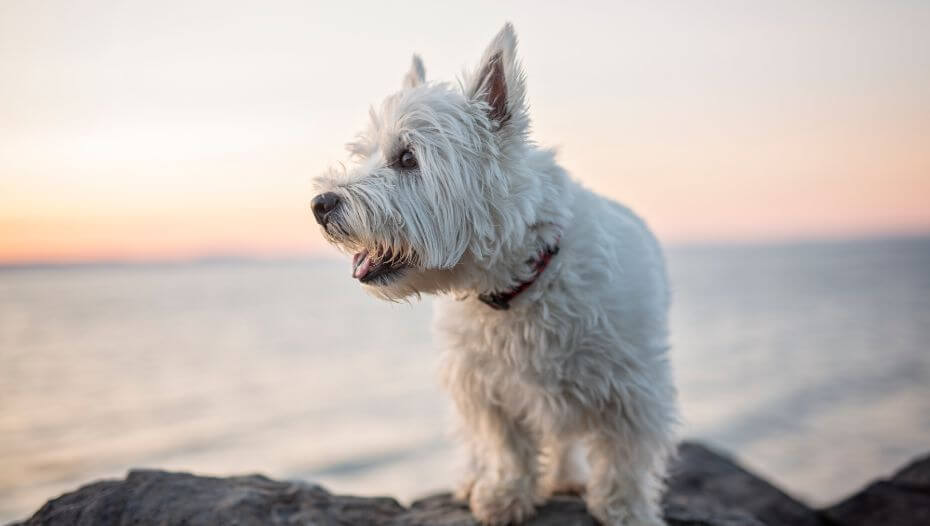 West Highland White Terrier sitting near the water