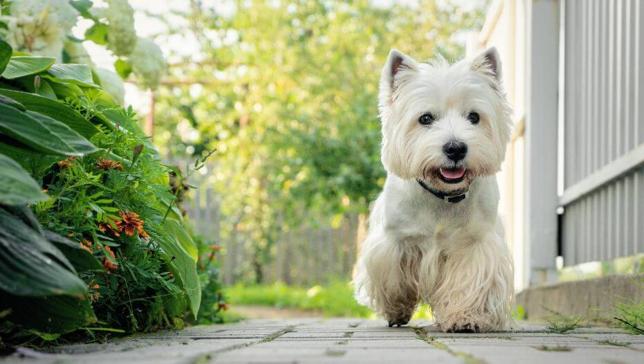 West Highland White Terrier walking in the yard