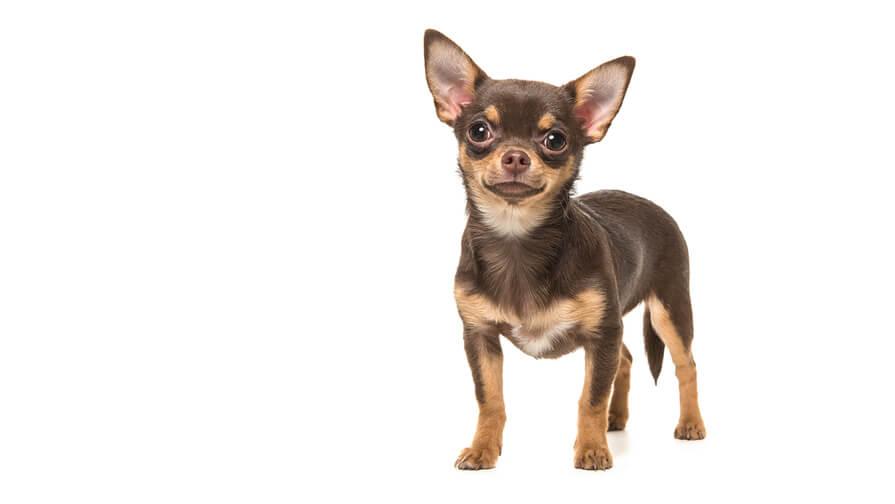 Chihuahua (Smooth Coat)