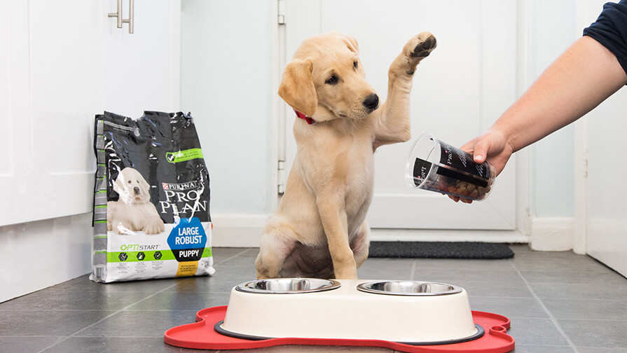 labrador puppy excited for Pro Plan food