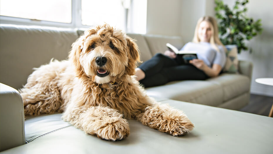 Labradoodle on sofa with owner