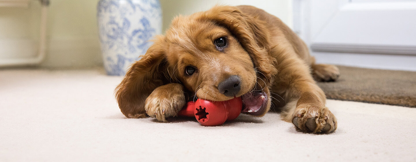 puppy chewing on a red toy