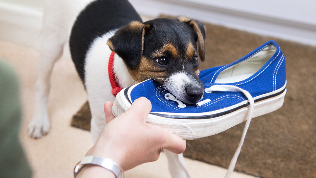 puppy chewing on blue shoe