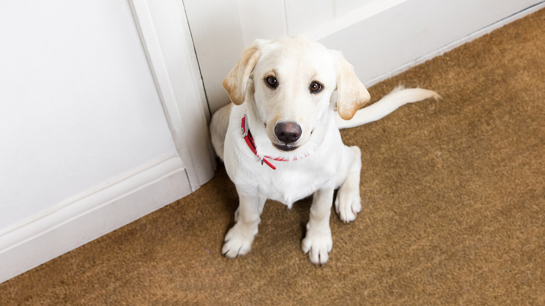 labrador puppy looking sad at door