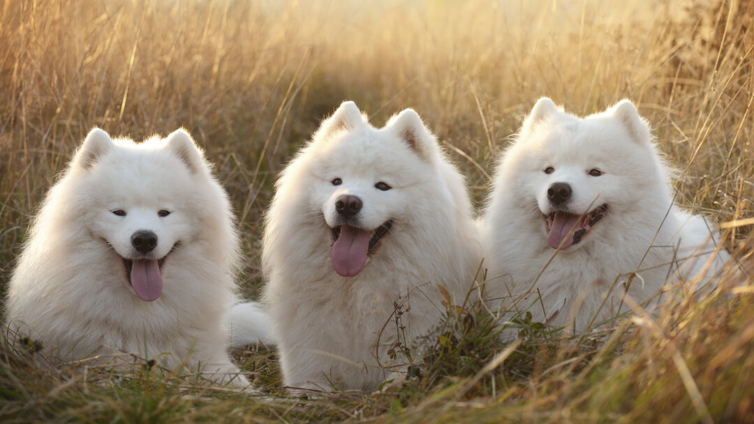 Three dog's in the field
