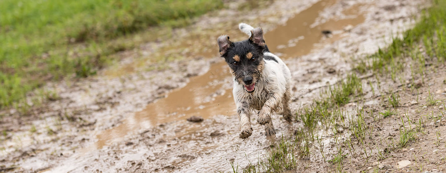 Jack russell terrier dog is running fast over a wet dirty path