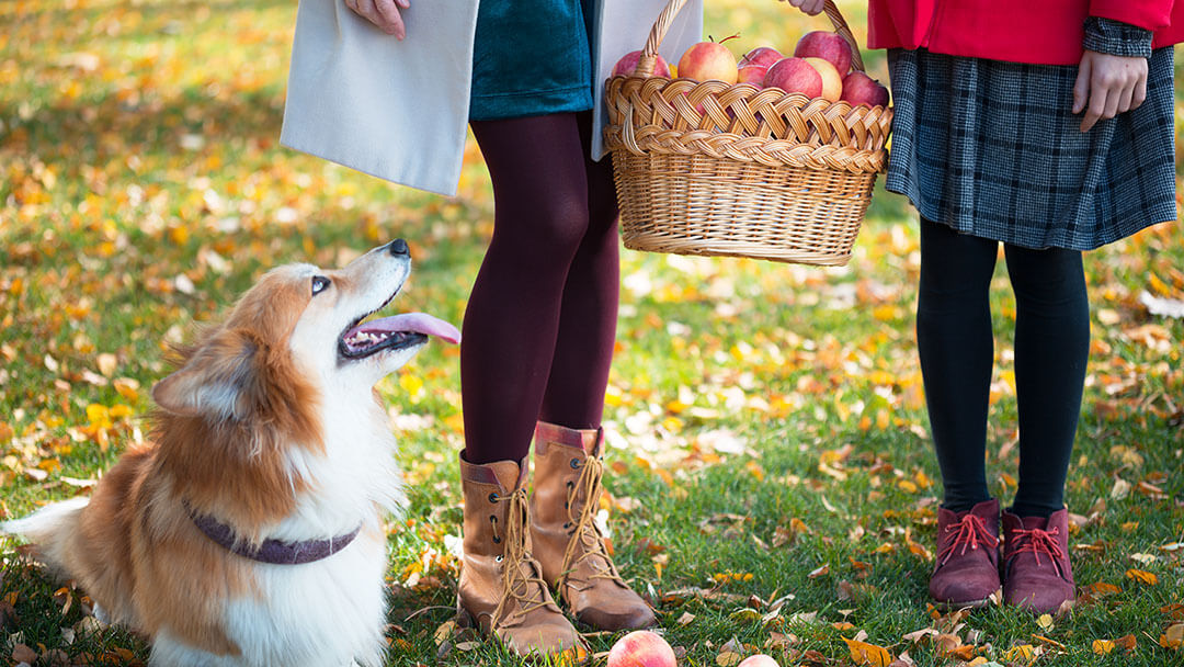 Corgi watching on two girls who holding basket with apples