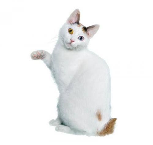 Japanese Bobtail Short Hair