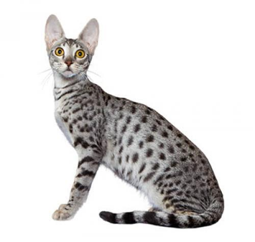 Savannah Cat Breed Information Purina