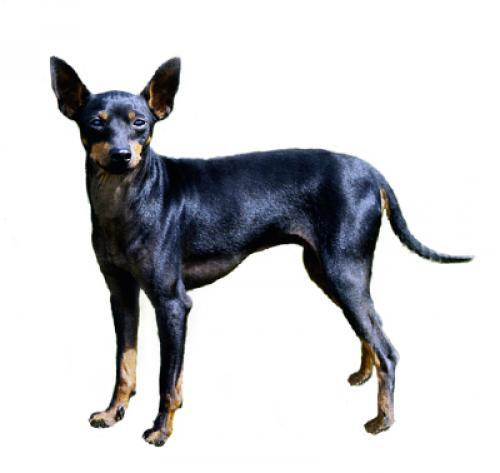 English Toy Terrier (Black & Tan)
